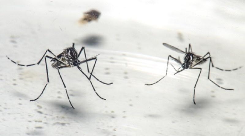 Macho e fêmea do mosquito Aedes aegypti no Laboratório de Mosquitos Transmissores de Hematozoários