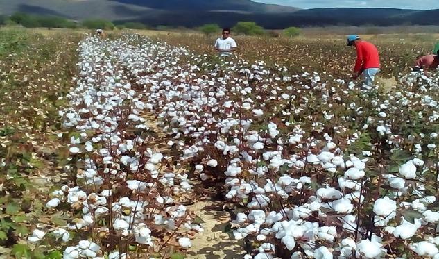 Colheita avança no sudoeste da Bahia (Foto: Divulgação)