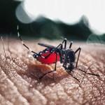 A fêmea do Aedes aegypti é vetor de transmissão da tríplice epidemia (dengue, chikungunya e zika) (Foto: Divulgação)