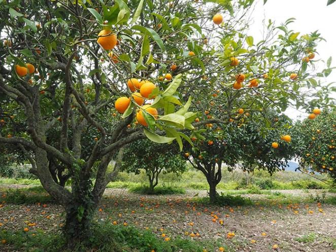 O carbendazim é utilizado no cultivo de laranja, limão e maçã. De acordo com o Ibama, 4,8 toneladas do pesticida foi comprado em 2018 (Foto: NT Franklin/Pixabay)