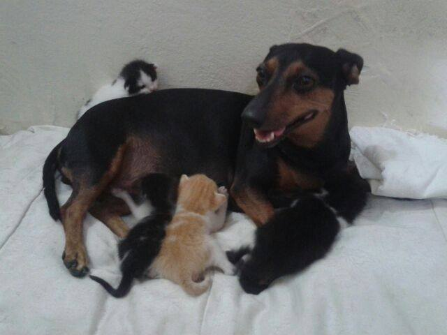 Em Patos, cadela amamenta quatro filhotes de gato e cuida deles como se fossem seus próprios filhos; veja