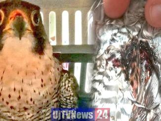 Ferito da una fucilata, falco pellegrino salvato dalla Polizia Provinciale