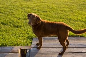 gibby-the-dog