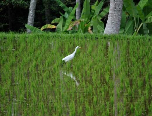 In Reisfeldern spazieren gehen