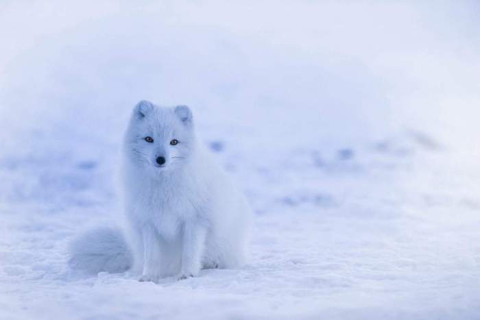 arctic foxes in iceland cute animals in iceland