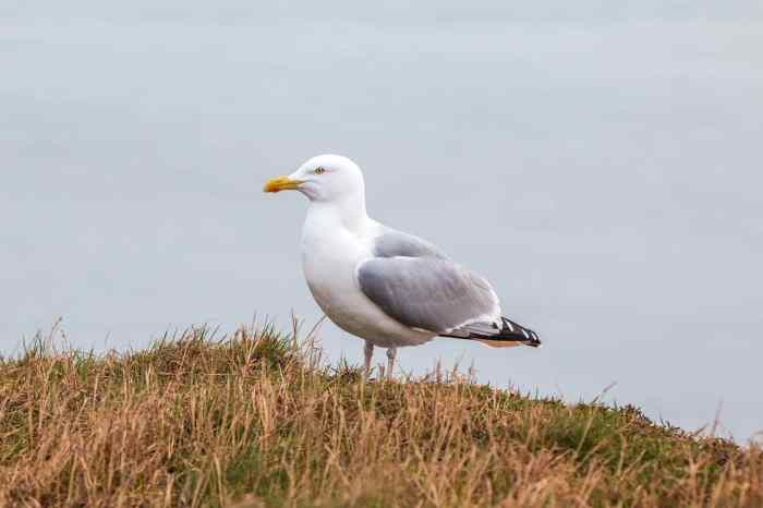 birds in iceland and seagulls in iceland