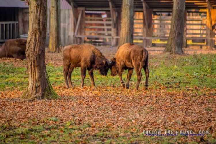 Juvenile bison rutting