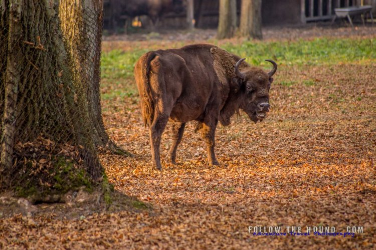 Wild bison calling out