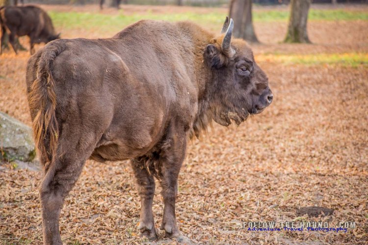 Białowieża Bison