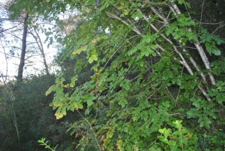 Albero della manna archivi fondazione terra d 39 otranto for Chioma albero
