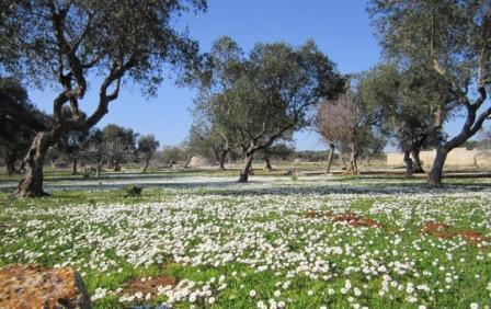 oliveto-con-fiori-fernando-scozzi1