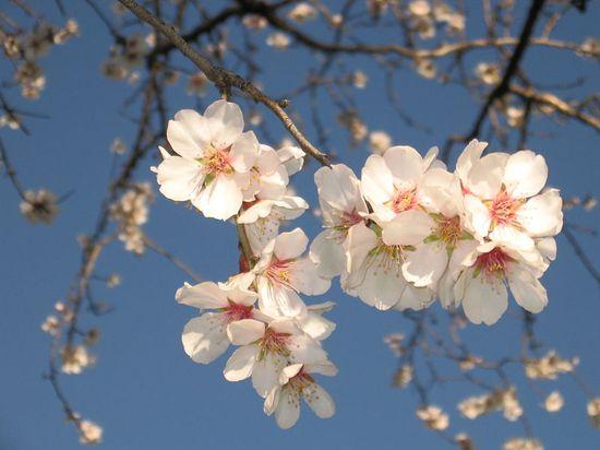 fiori-di-mandorlo