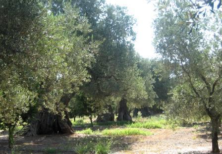 Cultura tradizionale contadina e fertilizzazione dell'oliveto