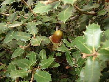 quercia spinosa