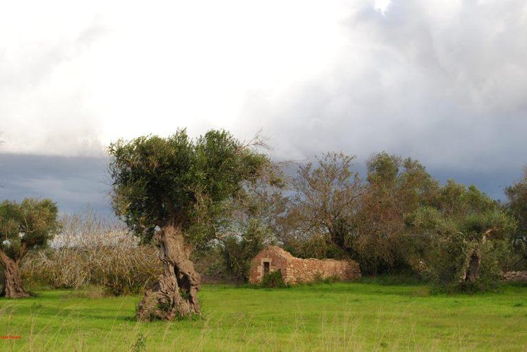 23 nov 2013, Salento, olivi disseccati in rivegetazione, contro le menzogne, 2
