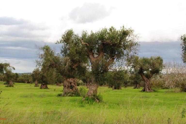 23 nov 2013, Salento, olivi disseccati in rivegetazione, contro le menzogne