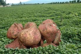 Le innumerevoli virtù della patata americana