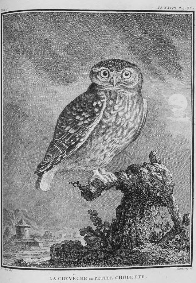 tratta da Historia naturelle des oiseaux, Imprimerie royale, Paris, 1770-1783