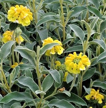 Flora spontanea: il Salvione giallo. Usi popolari, proprietà,curiosità