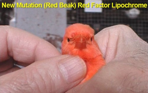 New Mutation Red Beak Red Factor Lipochrom 2