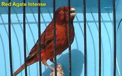Red Agate Intense Canary