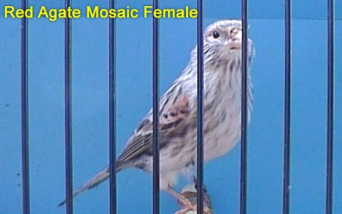 Red Agate Mosaic Female Canary