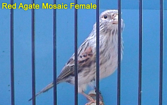 Red Factor Canaries: Agate Mosaic Hens