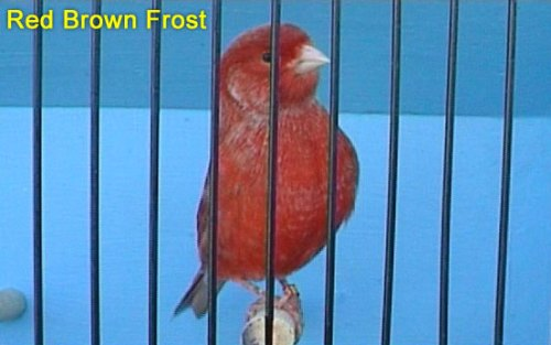 Red Brown Frost Canary