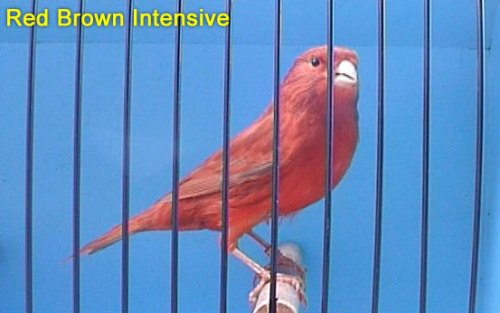 Red Brown Intensive Canary