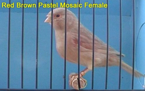 Red Brown Pastel Mosaic Female Canary