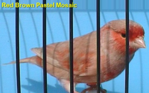 Red Brown Pastel Mosaic Canary