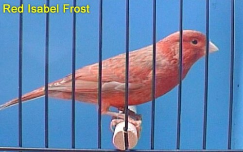 Red Isabel Frost Canary