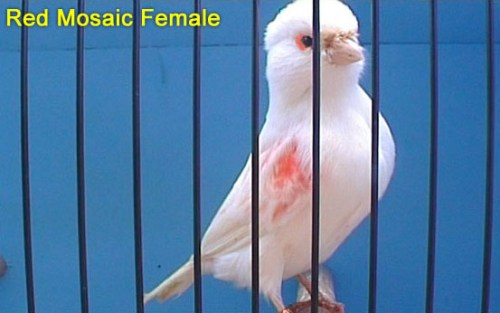 Red Mosaic Female Canary