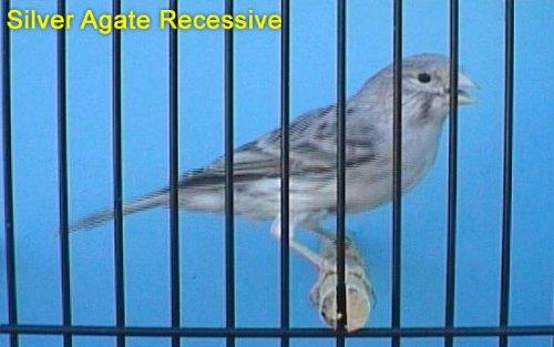 Silver Agate Recessive Canary