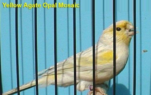 Yellow Agate Opal Mosaic Canary