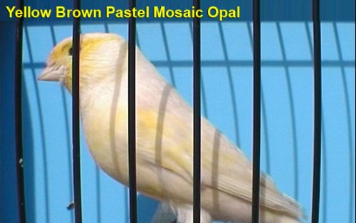 Yellow Brown Pastel Mosaic Opal Canary