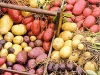польза картофеля для желудка