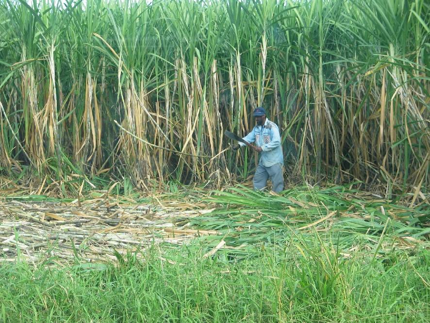 Sugar Sugarcane Harvester