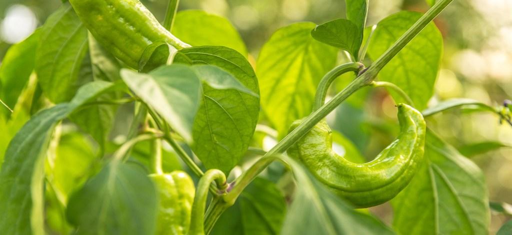 Grüne Paprika am Strauch