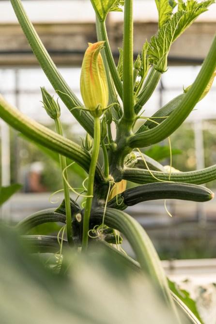 Zucchinipflanze mit Blüten im Gewächshaus