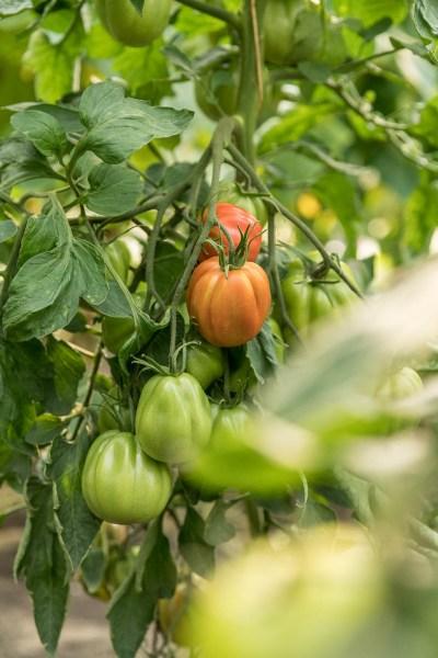 Tomatenpflanze im Gewächshaus