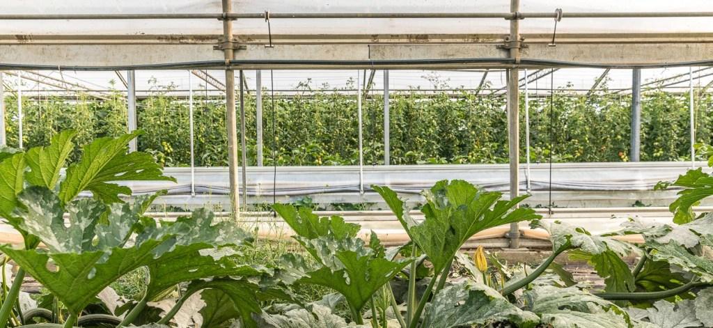 Blick ins Gewächshaus auf die Tomatenpflanzen