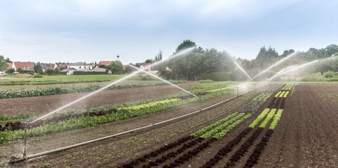 Abendliche Bewässerung der Gemüsepflanzen auf dem Feld