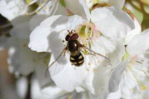plum blossom - hoverfly