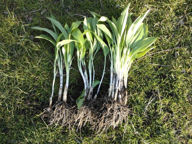 wild garlic clump, separated