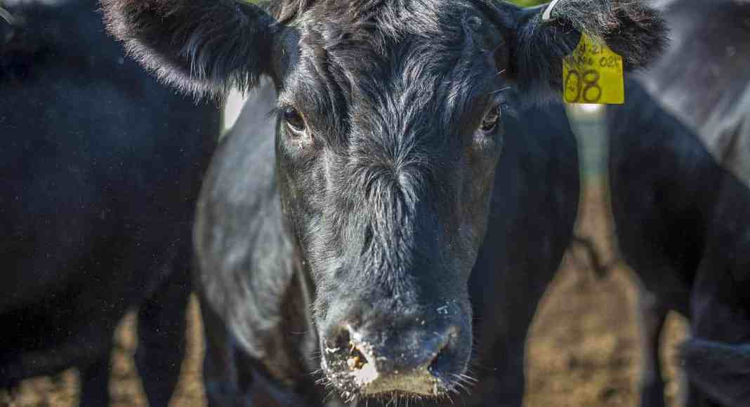Foot and Mouth Disease (FMD) affects cattle, pigs (domestic and wild), sheep, goats, and other cloven hoofed animals.