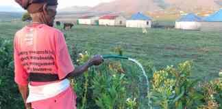 89-year-old Nokamile Mazosiwe farms with tobacco in Ngcobo in the Eastern Cape. Photo: Kholo Mazosiwe