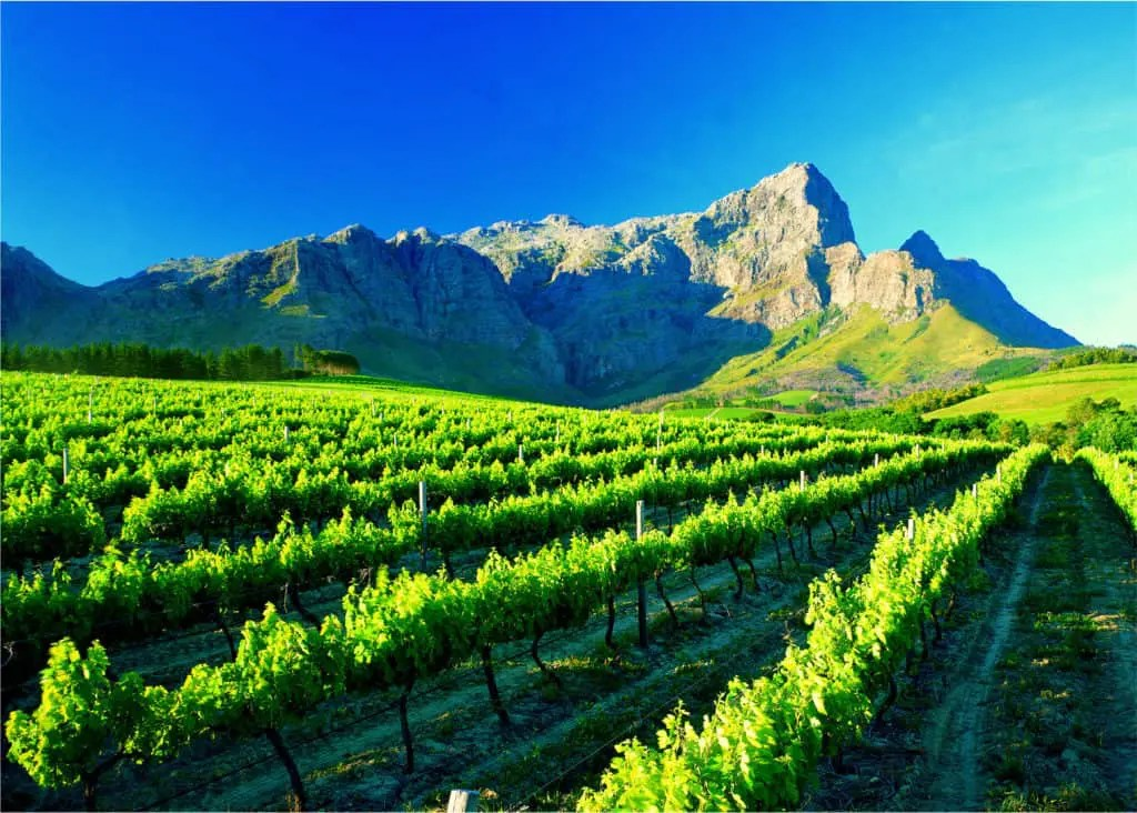 A vineyard near Franschhoek in the Western Cape.