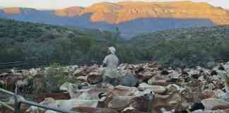 Last light on the ironstone krantzes as herder Chris Martins takes a final walk around the kraal full of the Meatmaster sheep. He knows each one.
