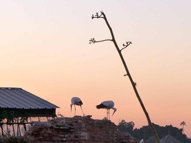 La Sultana - neighbouring storks